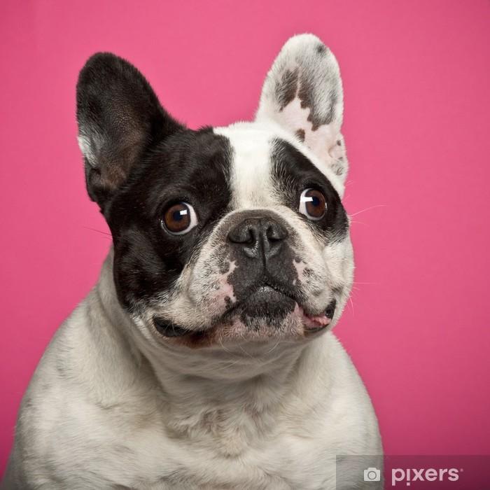 Poster Französisch Bulldog, 5 Jahre alt, vor rosa Hintergrund - Französische Bulldogge