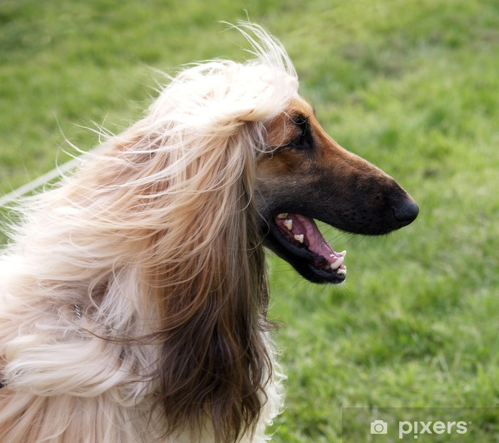 Happy Afghan Hound Poster - Mammals