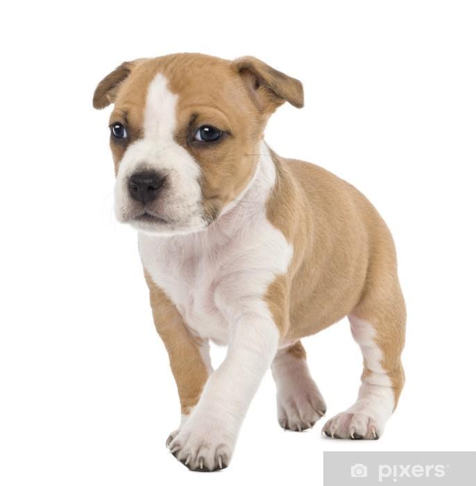 Aufkleber Portrat Von American Staffordshire Terrier Welpen Zu Fuss Pixers Wir Leben Um Zu Verandern