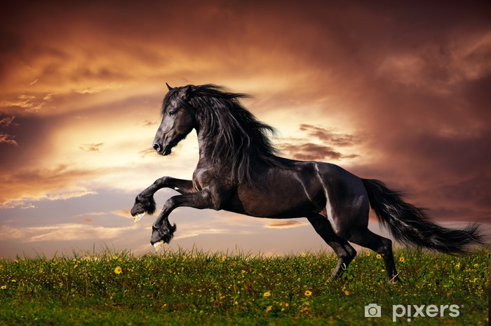 Vinyl Fotobehang Zwarte Friese paarden in galop -