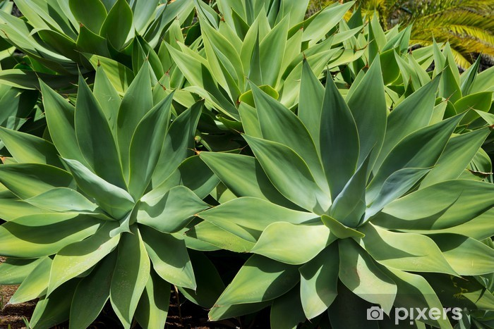 Agave Attenuata Cactus Plant From Canary Islands Wall Mural