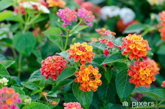Sticker Pixerstick Fleurs de Lantana - Fleurs