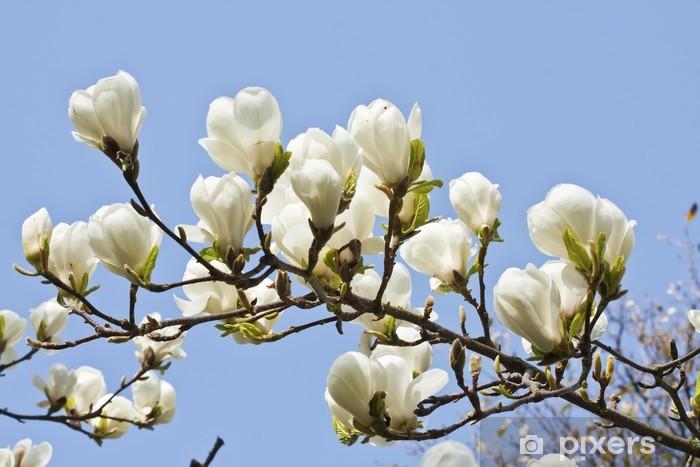 Carta Da Parati Magnolia Fiori Su Sfondo Blu Cielo Pixers