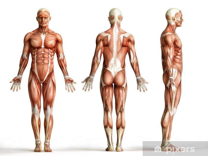 anatomy, muscles Pixerstick Sticker - Health and Medicine