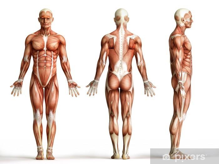 Sticker Pixerstick Muscles anatomy - Santé et médecine