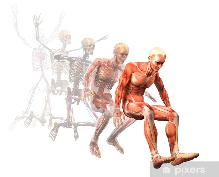 Pixerstick Sticker Anatomie, spieren - Gezondheid en Geneeskunde