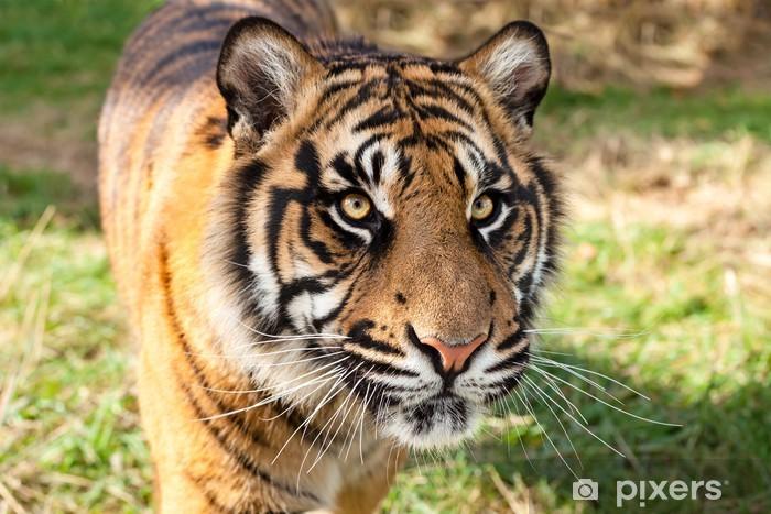 Papier peint vinyle Gros plan de tigre de Sumatra en après-midi de soleil - Mammifères