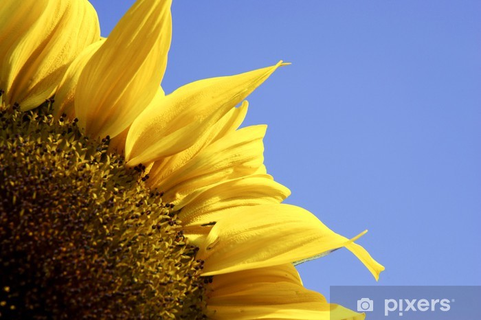 Naklejka Pixerstick Pojedynczy żółty słonecznik z błękitnego nieba - Kwiaty