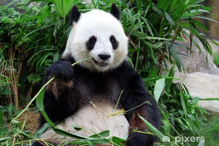 Fototapeta winylowa Panda bear jedzenia bambusa - Pandy