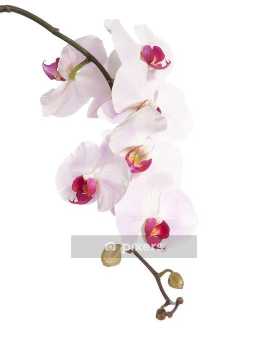 Sticker mural Orchidée rose isolé sur blanc - Sticker mural