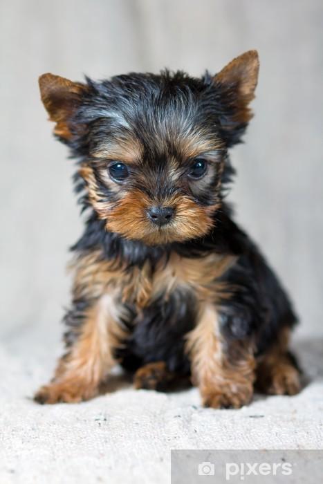 Naklejka Pixerstick Yorkshire Terrier Puppy - iStaging
