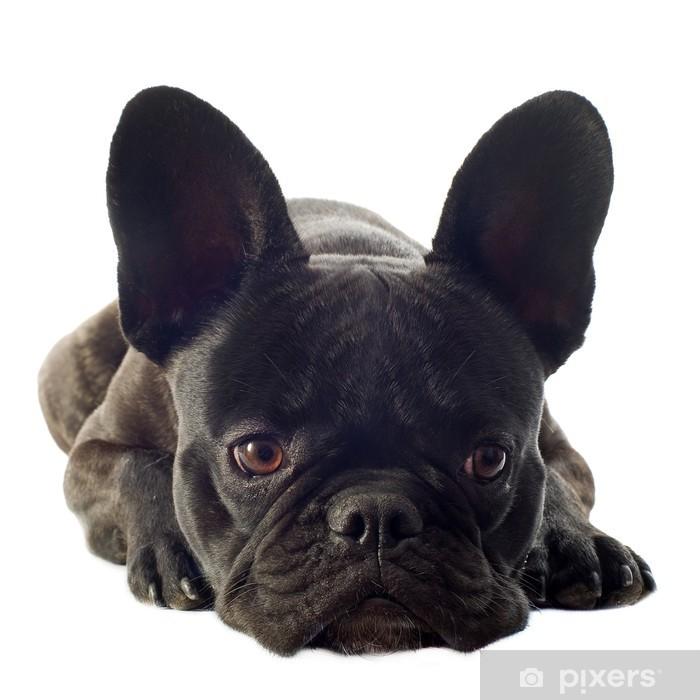 Plakat French Bulldog - Ssaki