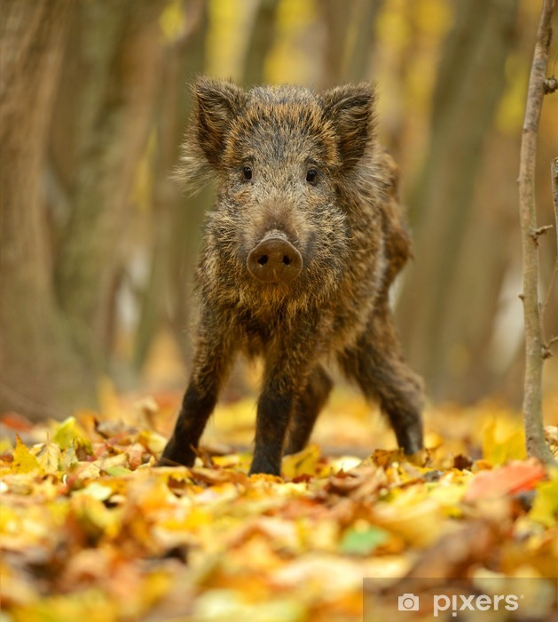 Sticker Pixerstick Le cochon sauvage - Mammifères