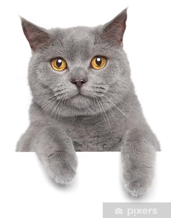 British gray cat on a white banner Pixerstick Sticker - Mammals