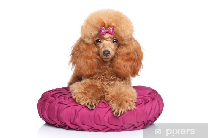 Fototapeta winylowa Toy Pudel puppy leżącego na poduszce - Ssaki