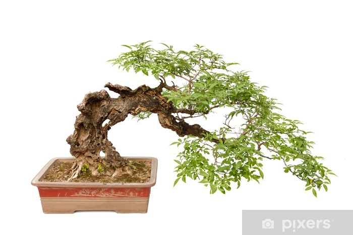 Cascade Bonsai Tree Bonsai Tree