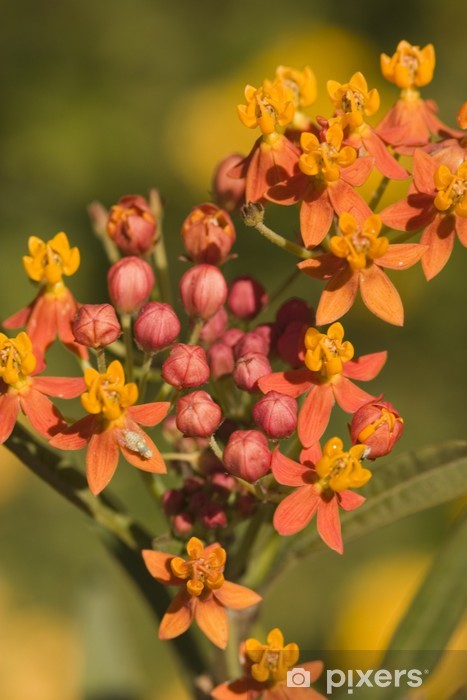 Fototapeta winylowa Pomarańczowy kwitnienia krzew późnym latem - Dom i ogród