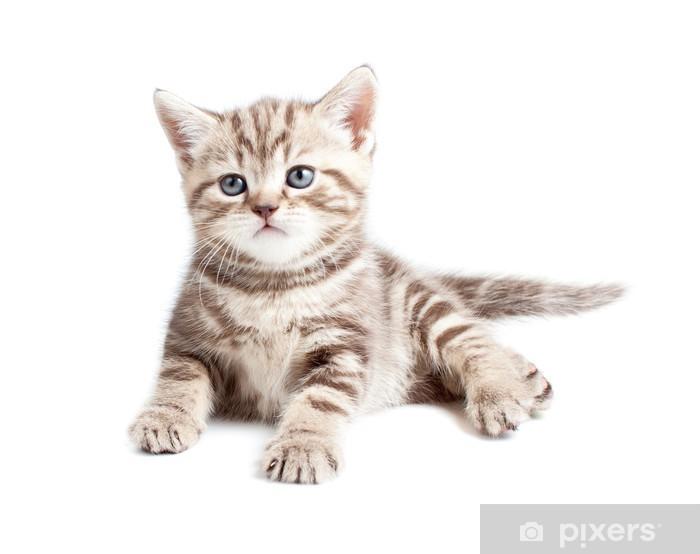 Fototapete Britische Baby Katze Oder Kätzchen Isoliert