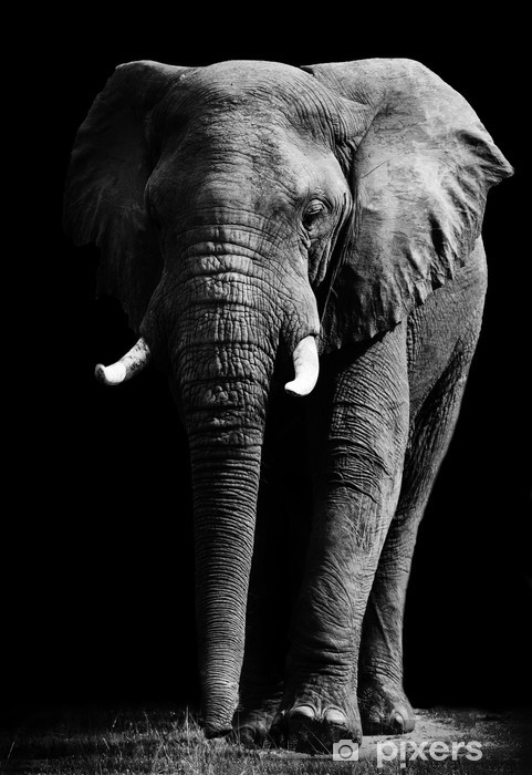 Elephant isolated on black background Vinyl Wall Mural -