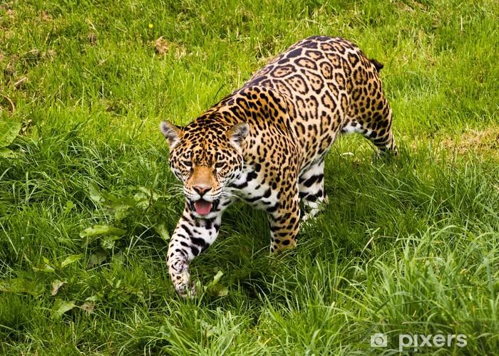 Papier peint vinyle Jaguar - Panthera onca - Mammifères