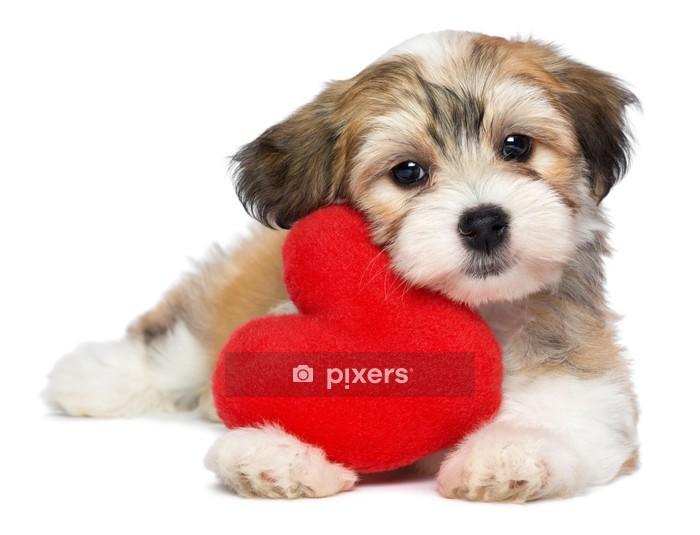 Naklejka na ścianę Lover Valentine Hawańczyk pies puppy z czerwonym sercem - Naklejki na ścianę