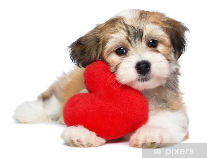 f68cfc024ff Nálepka Pixerstick Lover Valentine Havanský psík štěně s červeným srdcem -  Nálepka na stěny