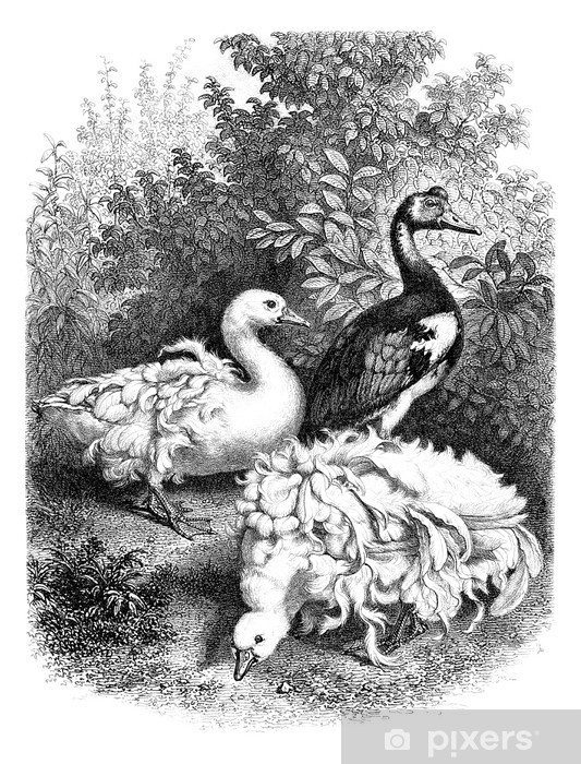 Papier peint vinyle Oies - Oies - ganse - Oiseaux