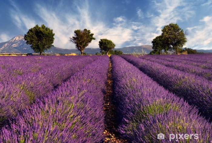 Naklejka Pixerstick Lawendowe pole w Prowansji, Francja -