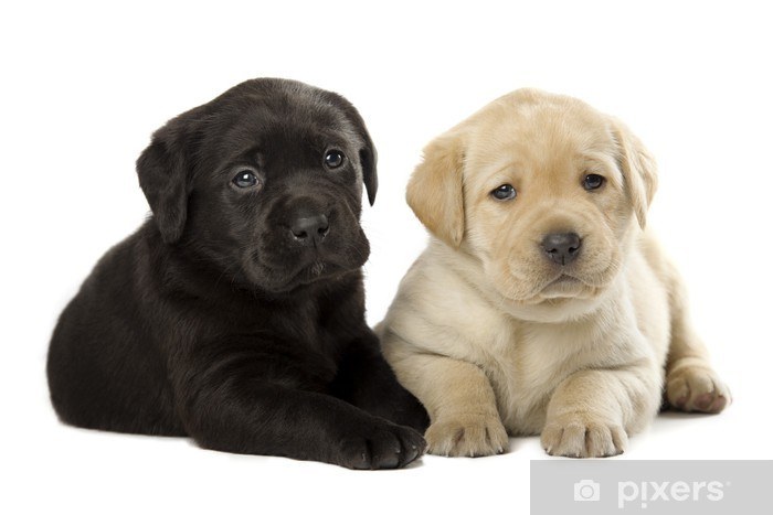 Labrador Retriever Puppies Lack Table