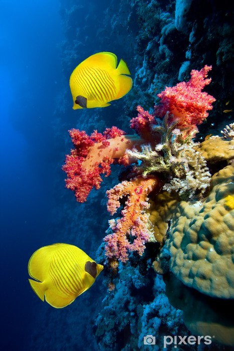 Underwater image of coral reef and Masked Butterfly Fish Pixerstick Sticker - Destinations