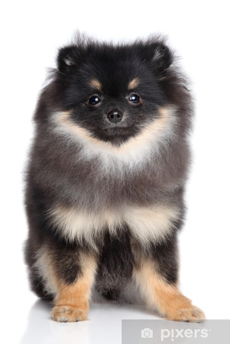 Spitz Puppy Sits On A White Background