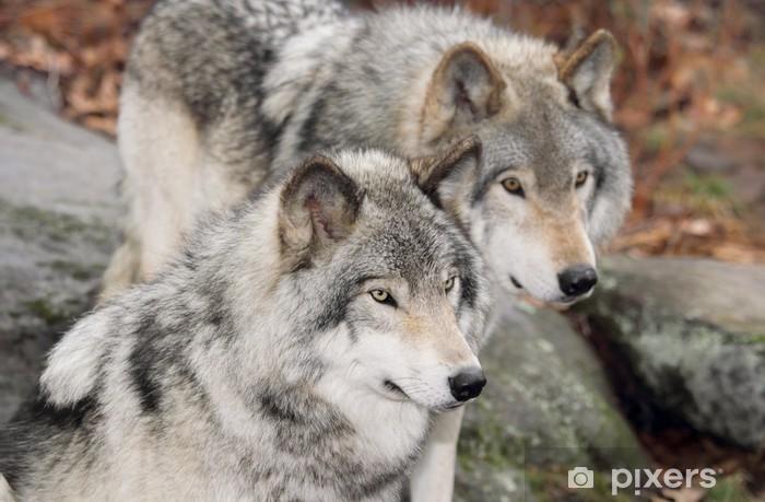 Papier peint vinyle Deux gros loup - Loups