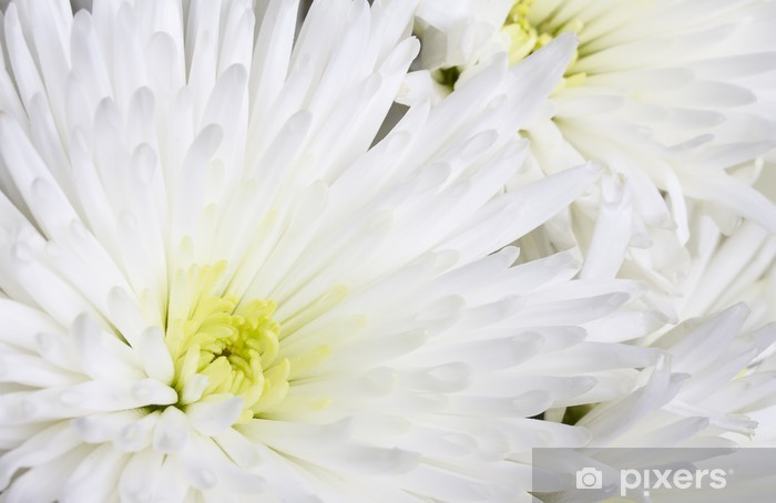 Nálepka Pixerstick Close up image bílé chryzantémy - Květiny