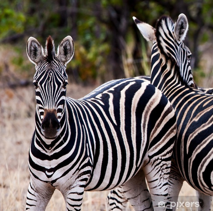 Plakat Zebry w Kruger National Park, Republika Południowej Afryki - Tematy