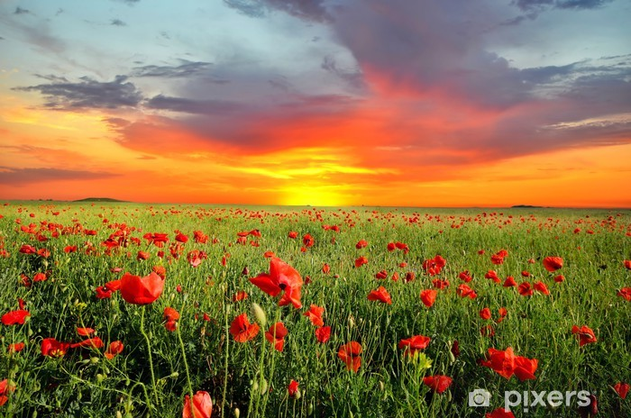 Field with poppies Vinyl Wall Mural - Meadows, fields and grasses