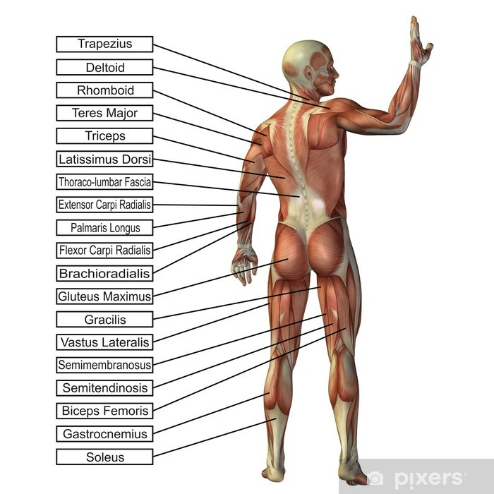 High Resolution Conceptual 3d Human Anatomy And Muscle Isolated Wall