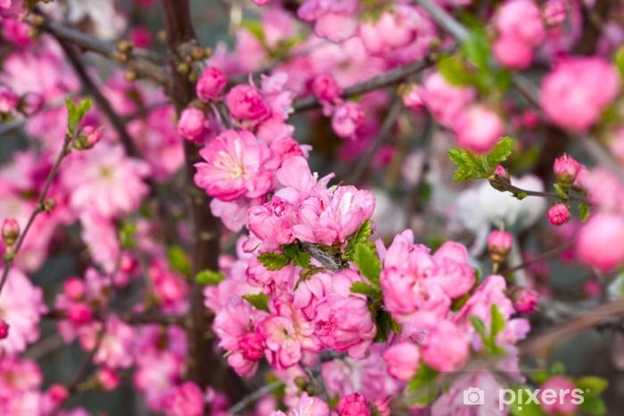 Papier peint vinyle Les branches de cerisiers en fleurs - Fleurs