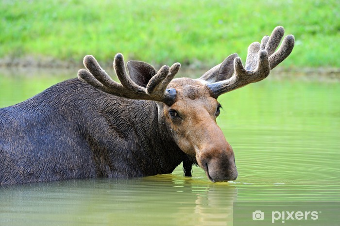Elk Pixerstick Sticker - Mammals