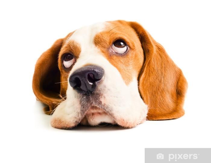 Vinyl Fotobehang Beagle hoofd - Zoogdieren