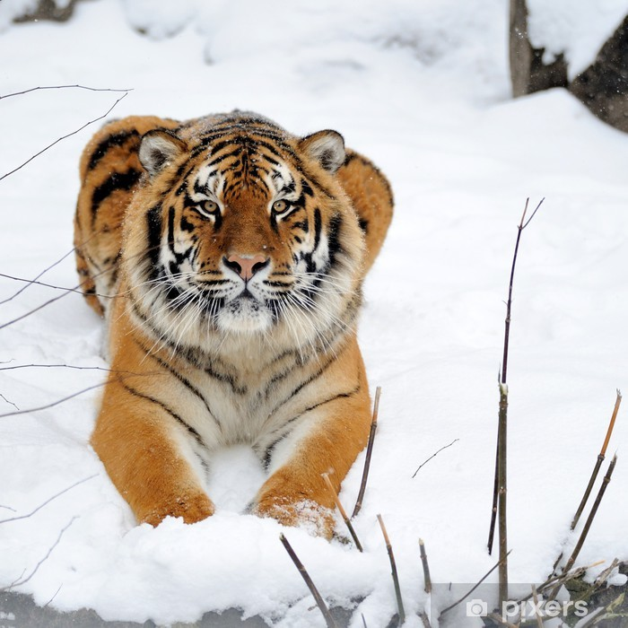 Plakát Krásný divoký tygr ussurijský na sněhu - Témata