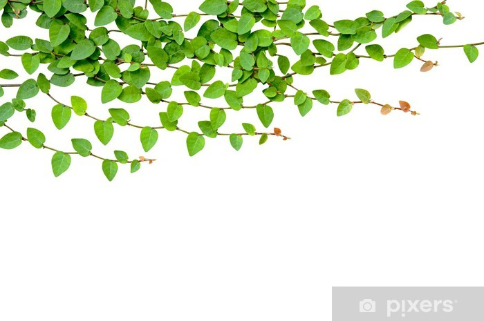 Papier Peint Vert Plante Grimpante Croissante Sur Le Mur Blanc