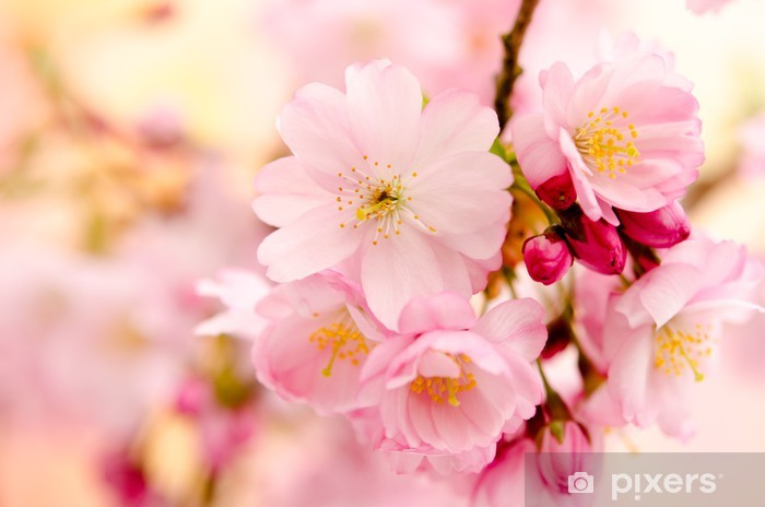 Sticker Pixerstick Japanese flowering cherry - Saisons