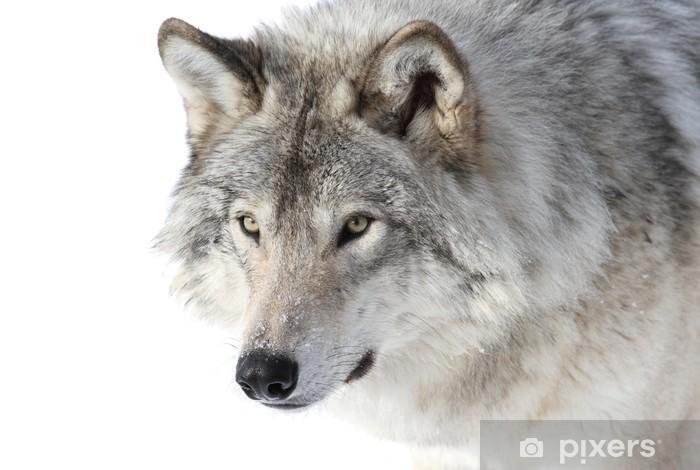 Papier peint Portrait de loup gris