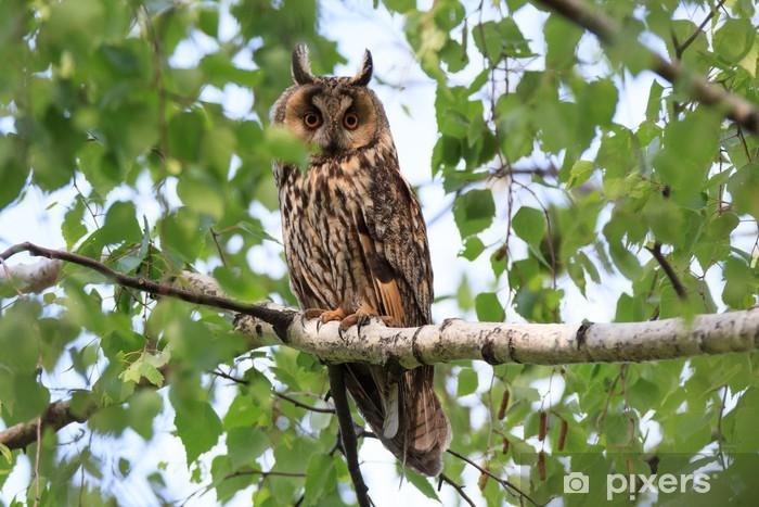 Asio otus, Long-eared Owl. Vinyl Wall Mural - Birds