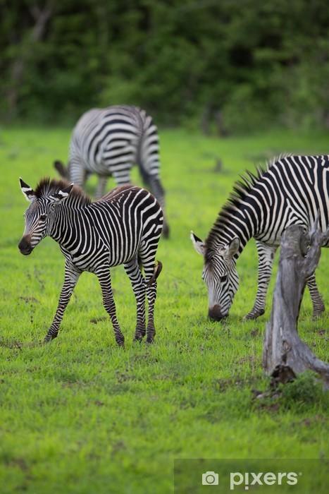 Vinyl-Fototapete Zebra Herde mit Kalb - Themen