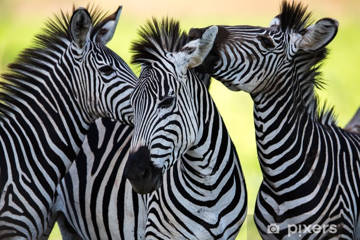 Zebras kissing and huddling Vinyl Wall Mural - Animals