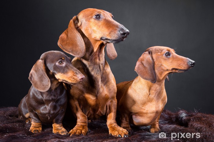 three red and chocolate dachshund dogs Pixerstick Sticker - Mammals
