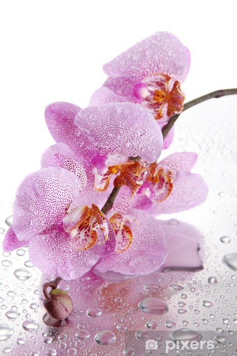 pink beautiful orchids with drops Vinyl Wall Mural - Flowers