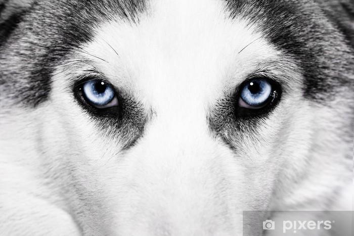 Vinyl Fotobehang Close-up shot van husky hond - Poolhonden