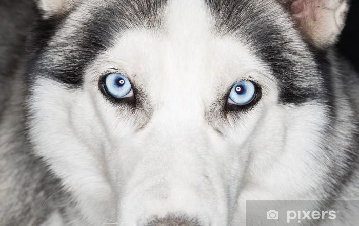 Fototapeta winylowa Close-up strzał z pies husky - Husky